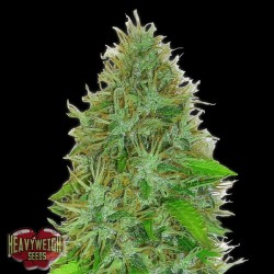 Auto 2 Fast 2 Vast - Autoflorecientes - Heavyweight Seeds