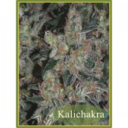 Kalichakra - Regulares - Mandala Seeds