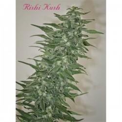 Rishi Kush - Regulares - Mandala Seeds