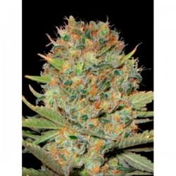 Auto Doble Gum - Autoflorecientes - Professional Seeds