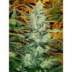 Auto Lowryder nº 2 - Autoflorecientes - Seedsman