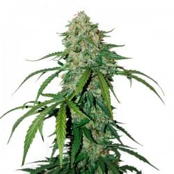 Auto CBD 1:1 Silver Lime Haze - Autoflorecientes - Seedstockers