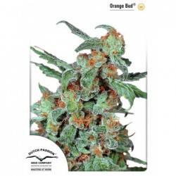 Orange Bud