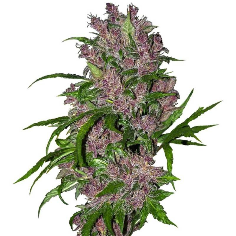 Purple Bud Auto