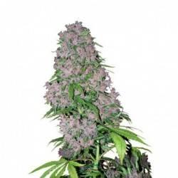 Purple Bud